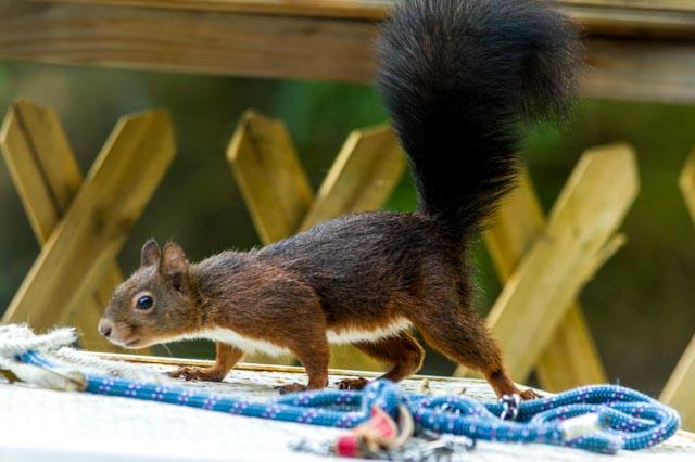 ecureuil corde