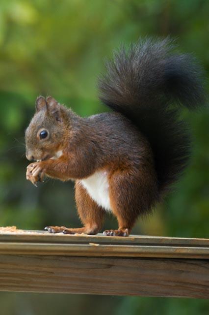 ecureuil sur la terrasse