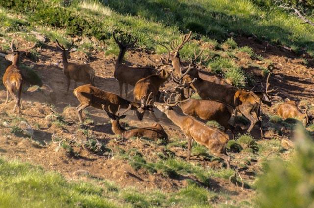troupeau cerfs (2)
