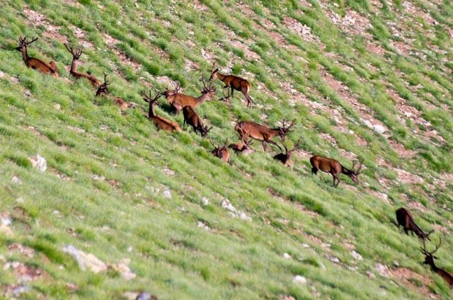 troupeau cerfs (3)
